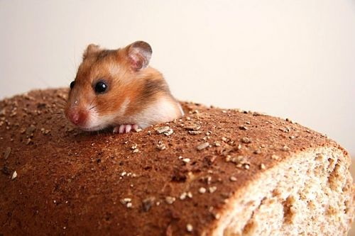 Bread Mouse