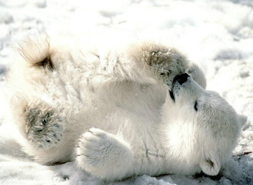 [Image: cute-polar-bear-cub04.jpg]